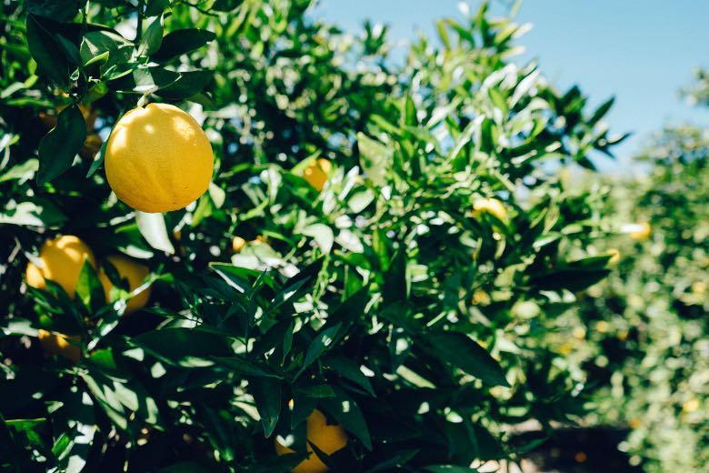limonène terpène naturel
